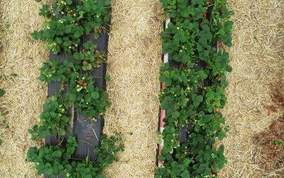 Dronebeelden helpen aardbeitelers bij het beter voorspellen van hun oogst